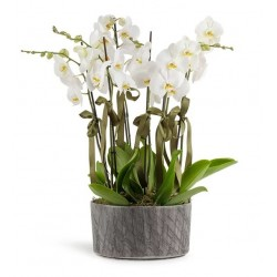 6 Dal Orkide